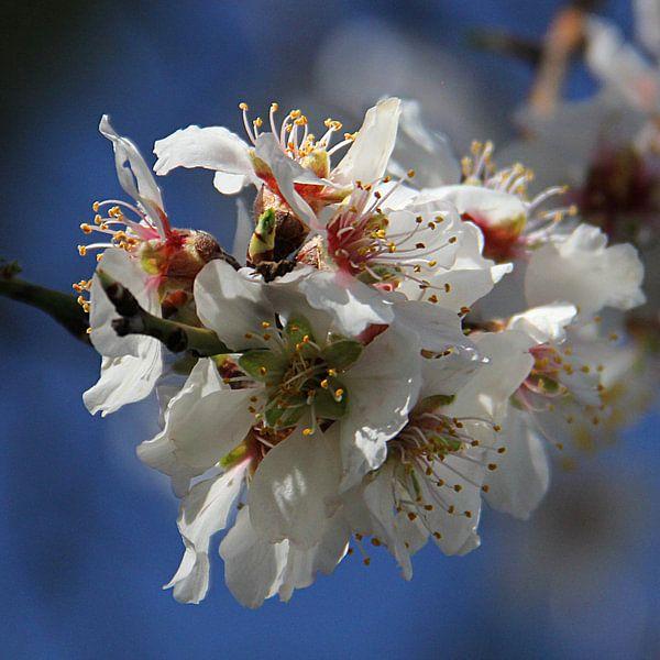 The White Blossom van Cornelis (Cees) Cornelissen