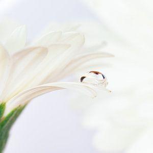 Druppel op witte Gerbera van