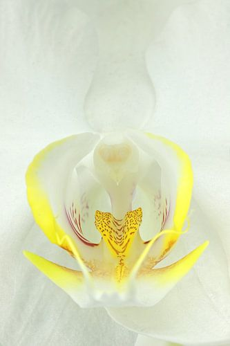 Witte Orchidee-3 van
