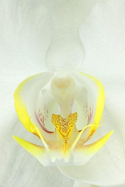 Witte Orchidee-3 van Rudy Umans