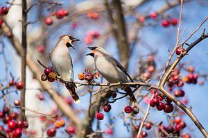 Pestvogels in een sierappelboom