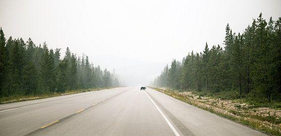 Overstekende  beer in Banff Nationaal Park