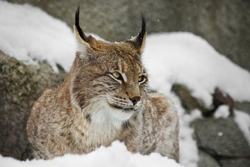Een mooie en sterke wilde lynx zit rustig vol in de sneeuw en kijkt met grote heldere strenge ogen,  van Michael Semenov