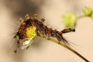 De rups van de witvlakvlinder smult van een aardbei bloem