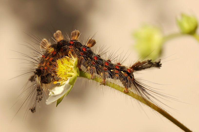 De rups van de witvlakvlinder smult van een aardbei bloem van Shot it fotografie