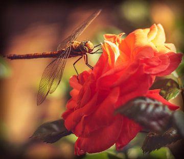 Libelle von Jeffrey Dolkens