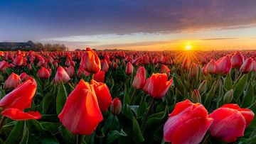 Zonsopgang bij een rood tulpenveld