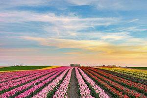s Avonds in een tulpenveld aan de Nederrijn