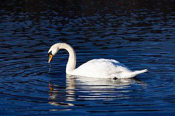 Swan van Andreas Müller