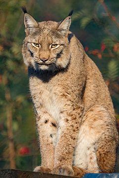 Zittende Lynx van