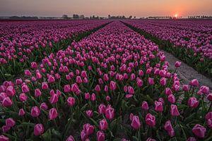 Zonsondergang Tulpenveld van