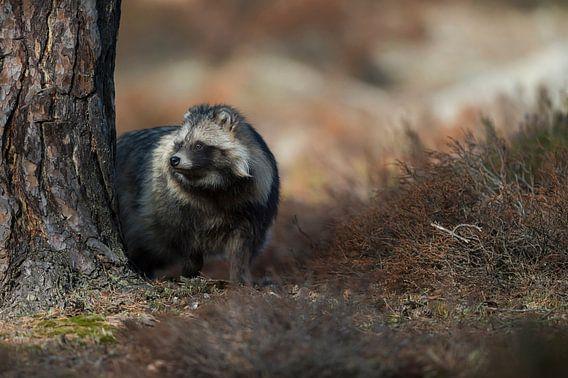 Raccoon Dog ( Nyctereutes procyonoides ), secretive behavior, hidden behind a tree, watching careful