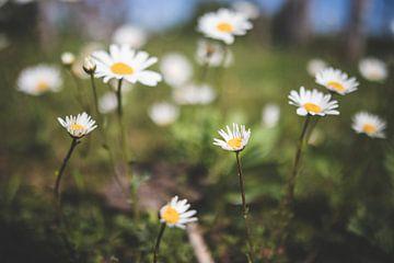Kamillenblüten von Yara Verstappen