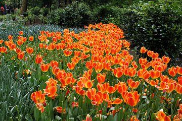 Tulpenveld - Tulipa Oxford von Albert van Dijk