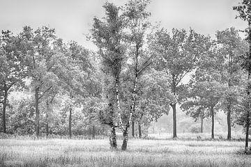 Die Birke von Peter Farla