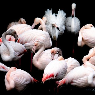 Flamingo's van Jon Geypen