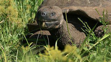 Galapagos reuzenschildpad is lekker aan het eten van