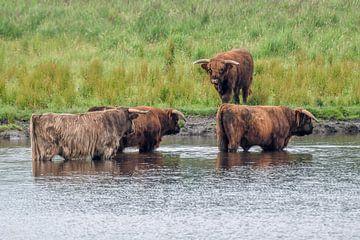 Schotse hooglanders / Highland cattle van Henk de Boer
