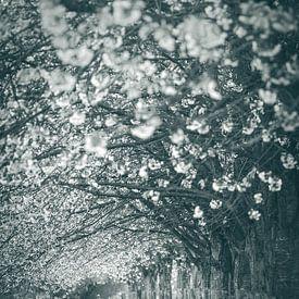 Along the Kromme Rijn, Bunnik, with cherry trees in bloom van Alessia Peviani