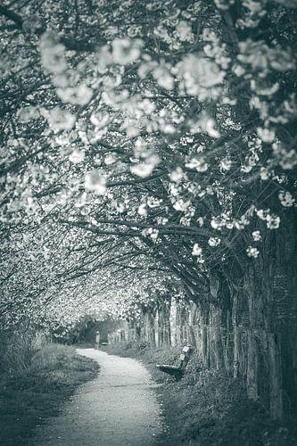 Along the Kromme Rijn, Bunnik, with cherry trees in bloom