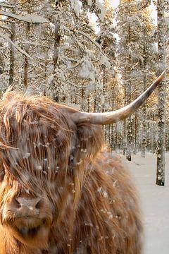Schotse Hooglander in de sneeuw van Humphry Jacobs
