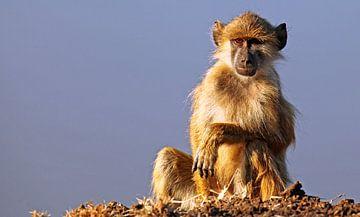 Junger Affe - Afrika wildlife von W. Woyke