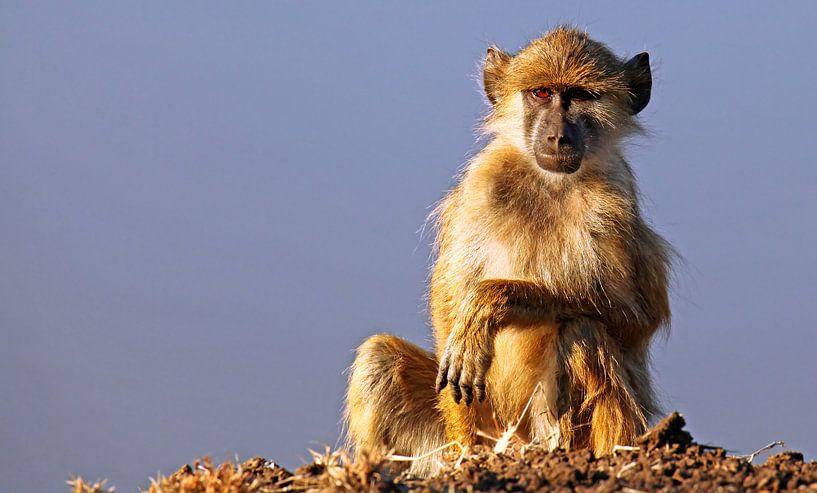 Young baboon - Africa wildlife van W. Woyke