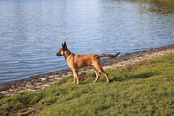 Mechelse herder pup staart over het water