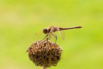 Bruine libelle van Barbara Brolsma