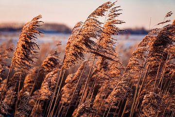 Riet in de polder van Carina Calis
