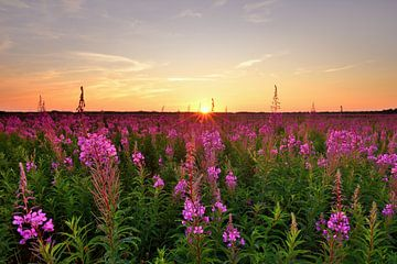 Wilgenroosjes bij zonsondergang sur John Leeninga