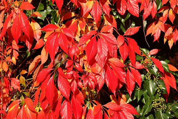 Rot verfärbte Blätter des wilden Weins