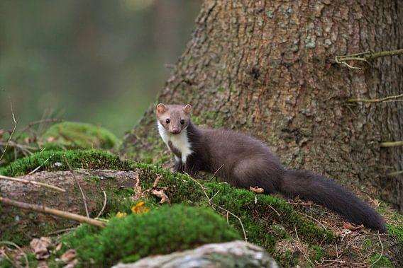 Attentive Beech Marten / Stone Marten ( Martes foina) in nice surrounding of a natural forest, Europ