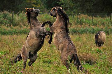 Konikpaarden van Jeannette Penris