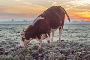 Koe in weiland tijdens Zonsopkomst