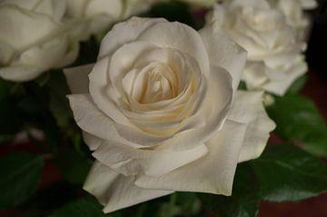 een witte roos van Andrea Ooms