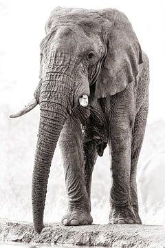 Machtige olifanten bul van De Afrika Specialist