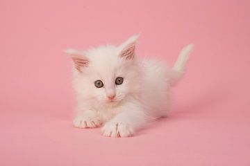 Main coon kitten van Elles Rijsdijk