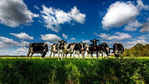 Nieuwsgierige koeien van