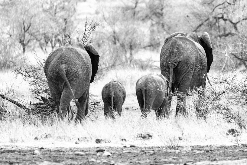 Olifanten in Zwart-wit van Visueelconcept