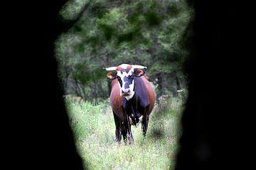Argentijnse stier van Suzanne Roes