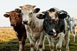 Drie koeien van