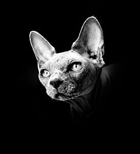 portrait of a sphynx cat in black and white