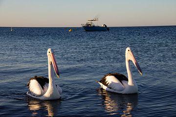 Hungrige Pelikane kommen, um einen Blick zu werfen von Lizette Schuurman