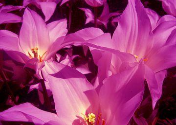 Tulipan von Ramon Labusch