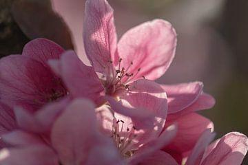 roze appelbloesem van Tania Perneel