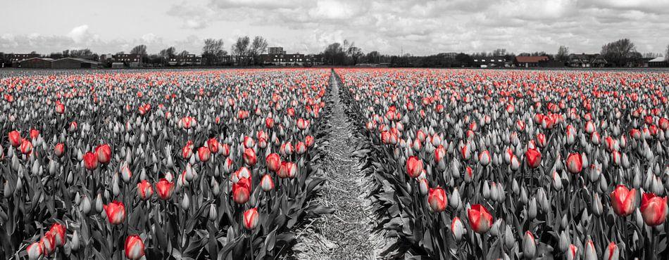 Tulpen 2015 - 004