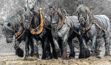Zeeuwse trek-ploeg paarden van