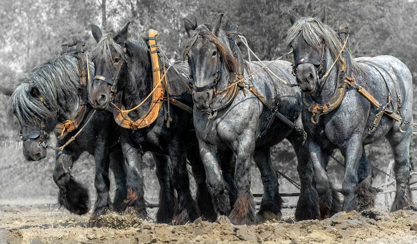 51247960662 Zeeuwse trek-ploeg paarden van Carina Dumais