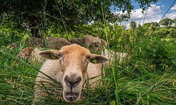 Lustige Schafe von Hennie Zeij